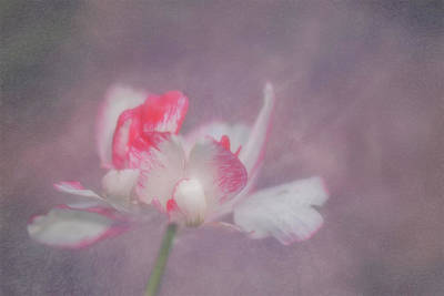 Photograph - Tulip by Jacqui Boonstra