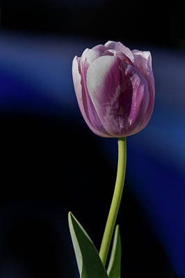Photograph - Tulip by Jerry Gammon