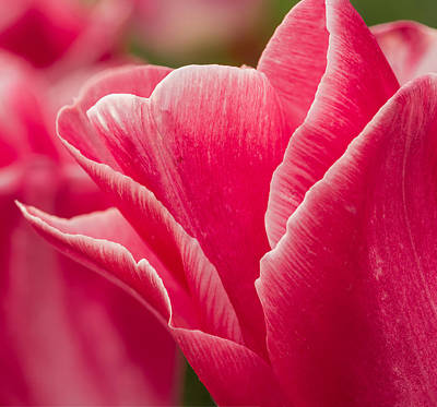 Photograph - Tulip Layers by Mary Jo Allen
