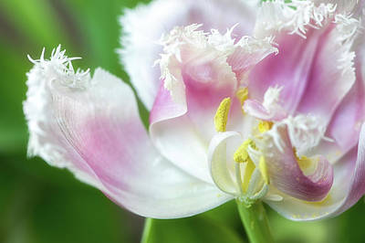 Photograph - Tulip Leaving by Nancy Kirkpatrick