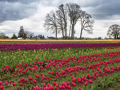 Photograph - Tulip Line Up by Jean Noren