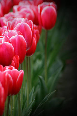 Pink Tulip Photograph - Tulip Line Up by Karla DeCamp