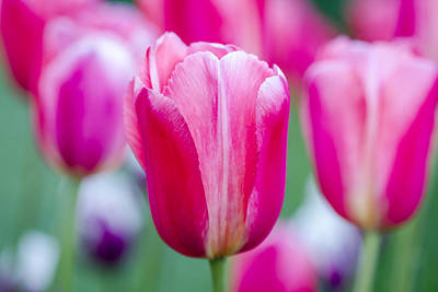 Photograph - Tulip Love by Teri Virbickis