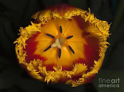 Photograph - Tulip Macro by Ann Jacobson