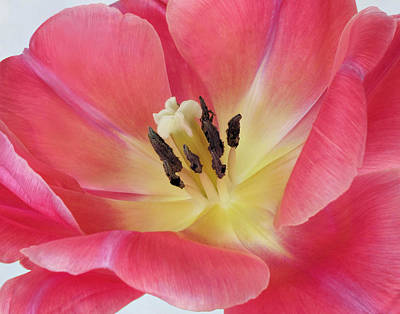 Photograph - Tulip Macro by David and Carol Kelly