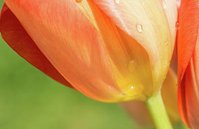 Photograph - Tulip Macro by Elvira Butler