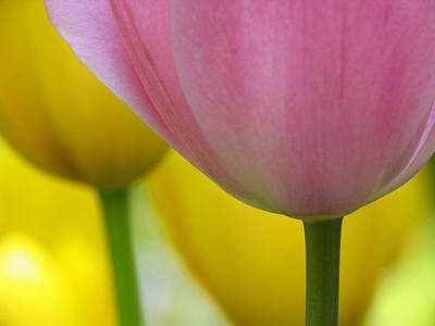 Photograph - Tulip Macro by Juergen Roth