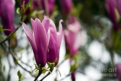 Photograph - Tulip Magnolias On A Gray Day by Chris Anderson