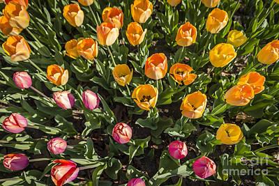 Photograph - Tulip Mania by Joann Long