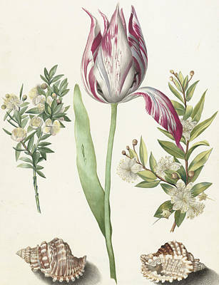Colorful Drawing - Tulip by Maria Sibylla Graff Merian