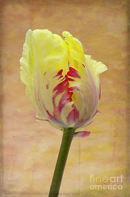 Spring Bulbs Photograph - Tulip by Marion Galt