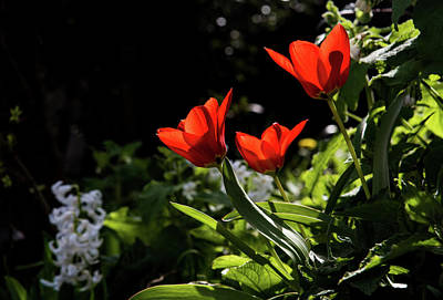 Photograph - Tulip by Mariusz Zawadzki