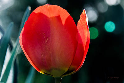 Photograph - Tulip by Mick Anderson