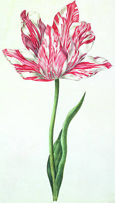 Tulips Drawing - Tulip by Nicolas Robert