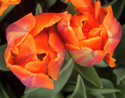 Photograph - Tulip Pair by Jean Noren
