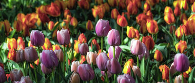 Photograph - Tulip Panorama by James Barber