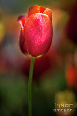Tulip Photograph - Tulip Passion by David Millenheft