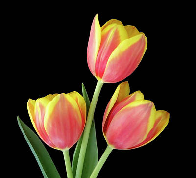 Tulip Passion Art Print