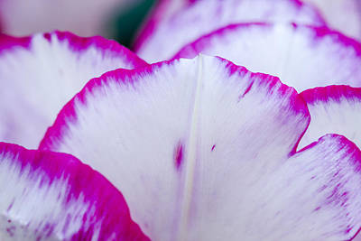 Photograph - Tulip Petal In Pink And White by Teri Virbickis