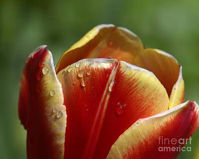 Photograph - Tulip Petals With Raindrops by Patricia Strand
