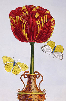 Vase Of Flowers Drawing - Tulip by Pierre-Joseph Buchoz