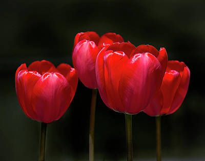 Photograph - Tulip Quartet by Michael Friedman