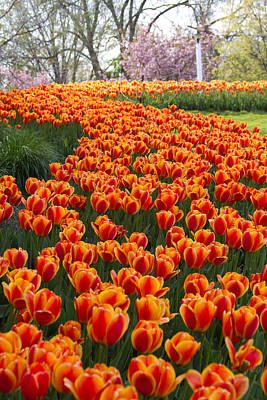 Photograph - Tulip Road by Daniel Houghton