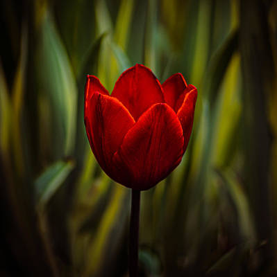 Photograph - Tulip by Rod Sterling