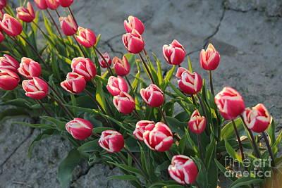 Tulips Photograph - Tulip Row by Carol Groenen