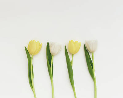 Photograph - Tulip Row by Kim Hojnacki