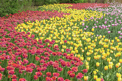 Photograph - Tulip Rows by Josef Pittner