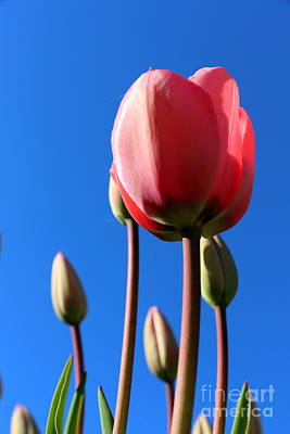 Photograph - Tulip Sky  by Neal Eslinger