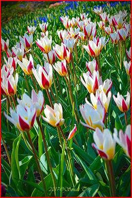 Photograph - Tulip Spring by Sonali Gangane