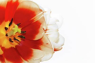 Photograph - Tulip Statement by Afrodita Ellerman