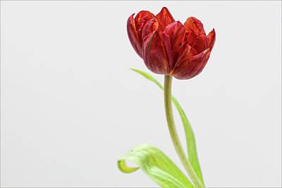 Tulip Still Life Art Print by Robert Ullmann