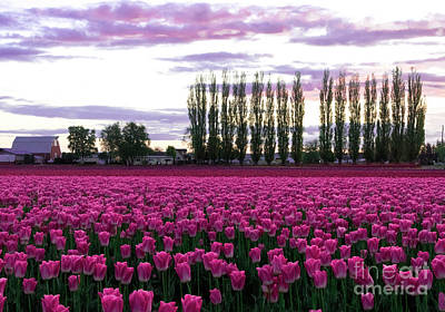 Photograph - Tulip Sunset by Louise Magno