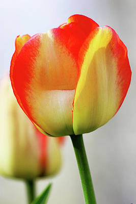 Photograph - Tulip by Tiffany Erdman