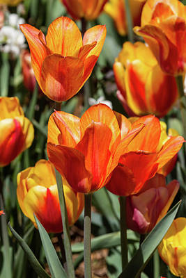 Photograph - Tulip Time by John Haldane