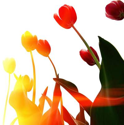 Photograph - Tulip Time by Michelle Calkins
