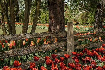 Photograph - Tulip Time by Victoria Harrington