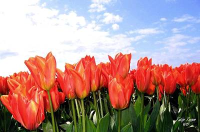 Photograph - Tulip Town 17 by Will Borden