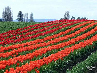 Photograph - Tulip Town 18 by Will Borden