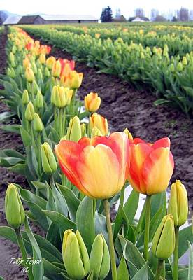Photograph - Tulip Town 6 by Will Borden