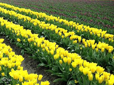 Photograph - Tulip Town 9 by Will Borden