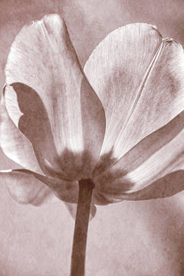 Photograph - Tulip Transparency Iv by Leda Robertson