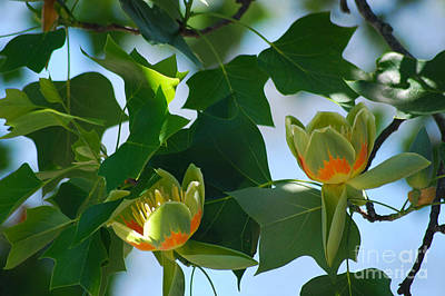 Photograph - Tulip Tree 20130515a_251 by Tina Hopkins