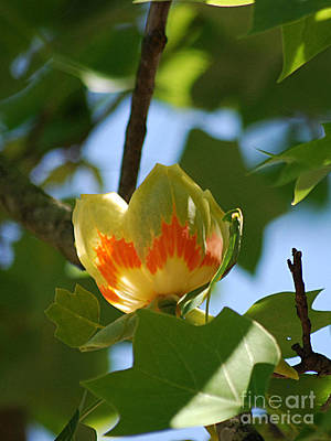 Photograph - Tulip Tree 20130515a_255 by Tina Hopkins