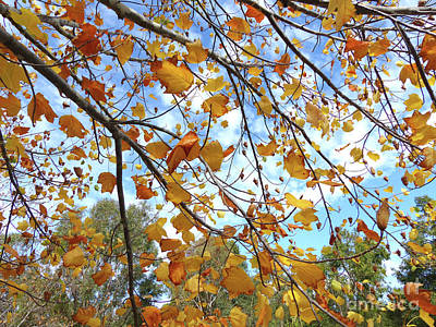 Photograph - Tulip Tree In Autumn by Phil Banks