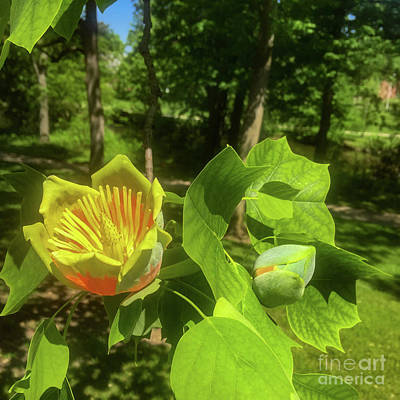 Photograph - Tulip Tree by Joseph Yarbrough