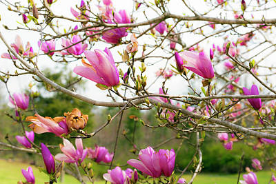 Photograph - Tulip Tree by Tiffany Dawn Smith